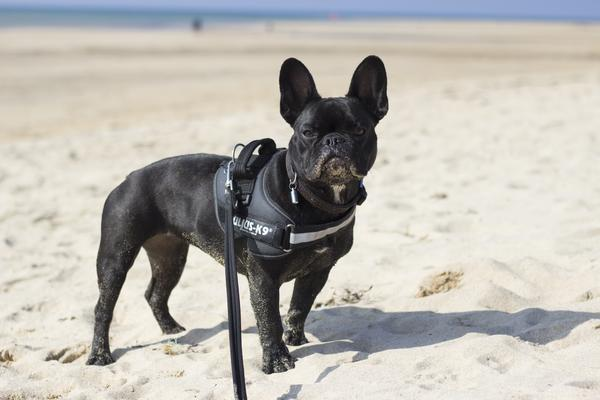 Julius-K9 French Bulldog