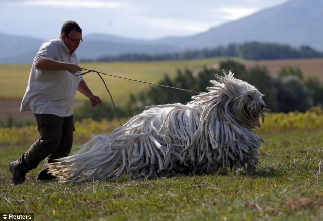 Hungarian Komondor Julius-K9 harness
