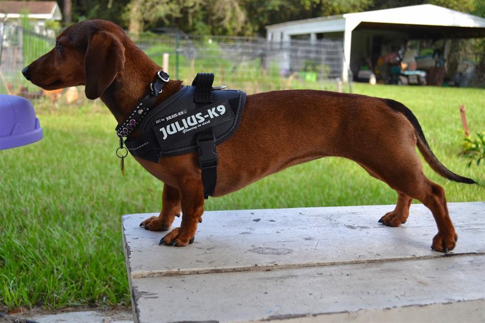 Julius K Dog Harness Reviews