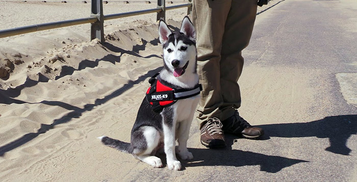 Julius K9 Harnesses Collars And Others K9harness Com Siberian